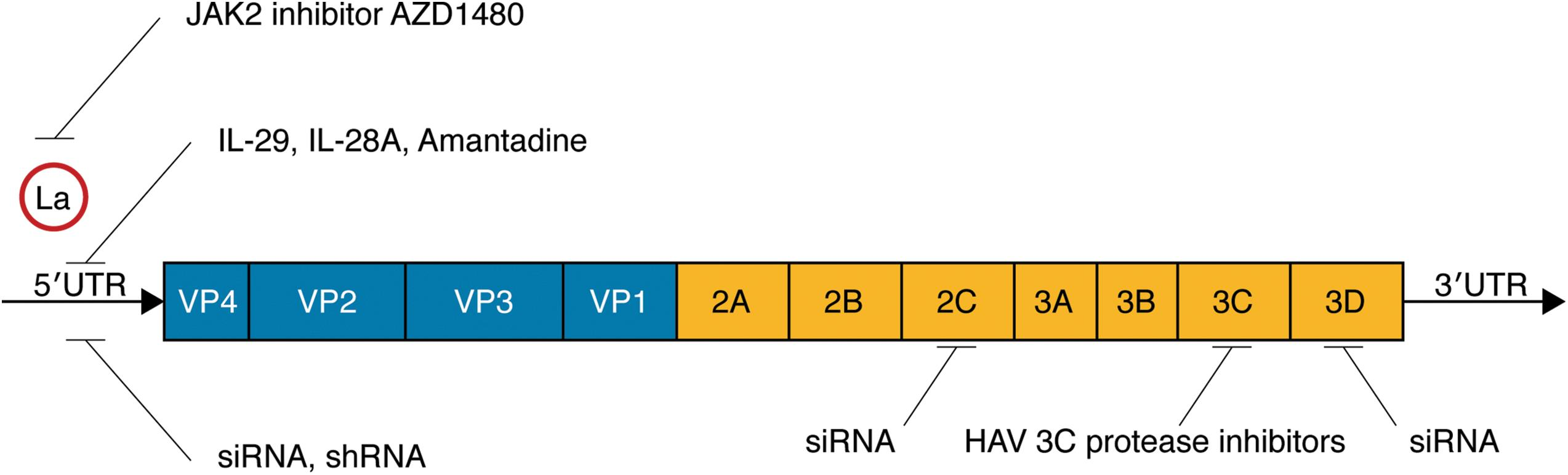 Structure of the hepatitis A virus (HAV) and targets of antiviral agents.