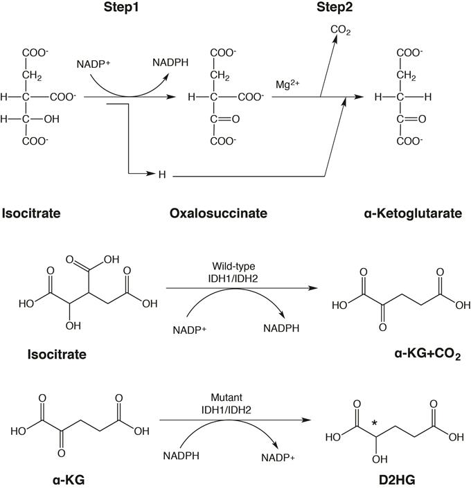 Enzymatic reactions catalyzed by wild-type and mutant IDH1 and IDH2.
