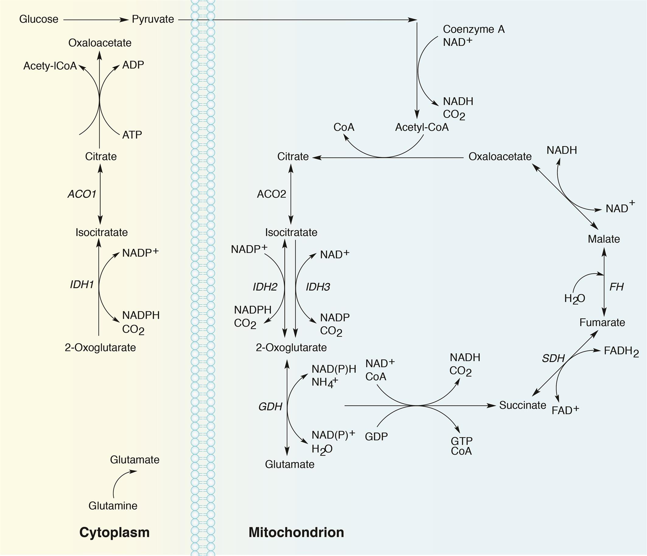 Function of IDH1/2 and IDH3 enzymes in the context of the tricarboxylic acid (TCA) cycle.