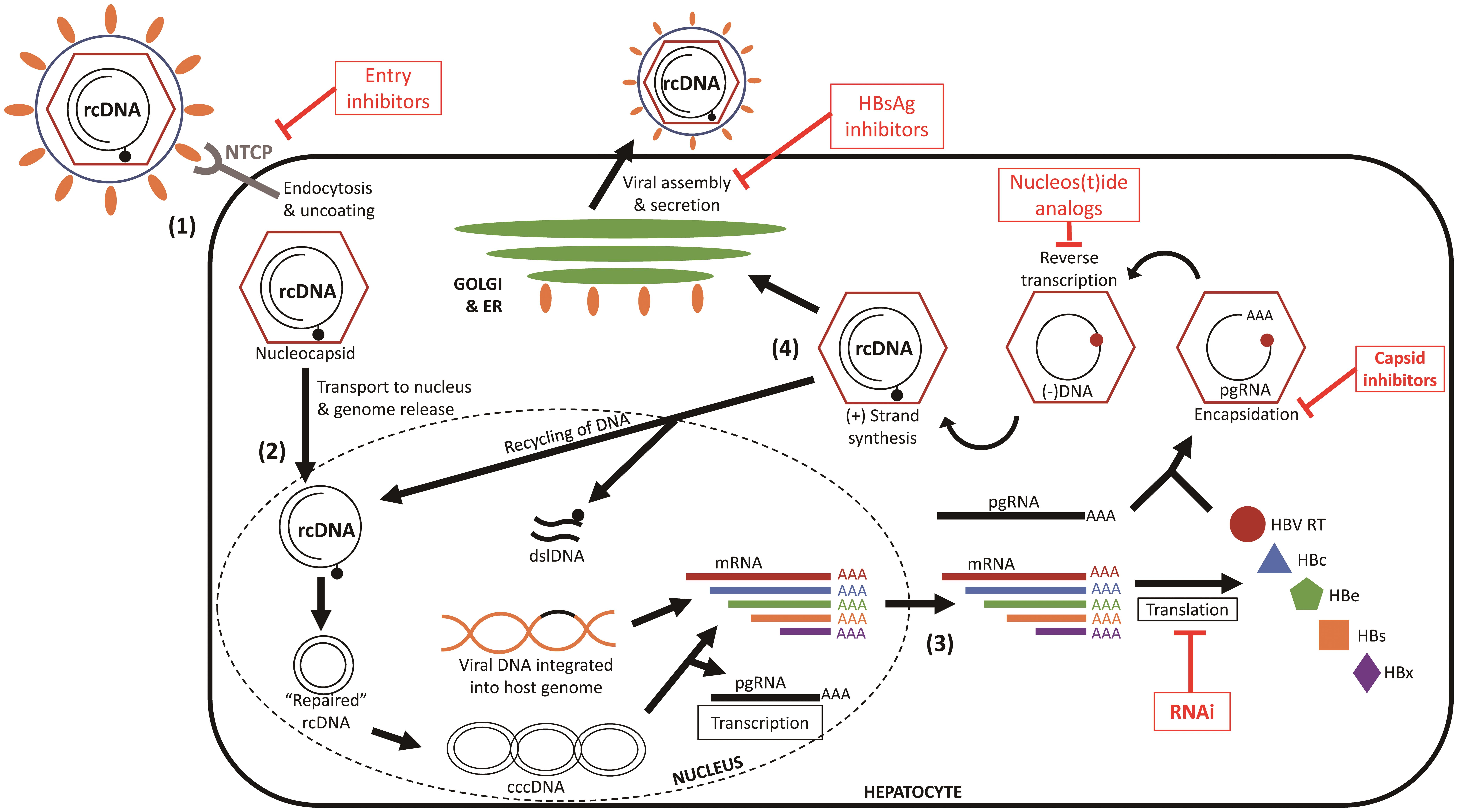 Hepatitis B viral life cycle.