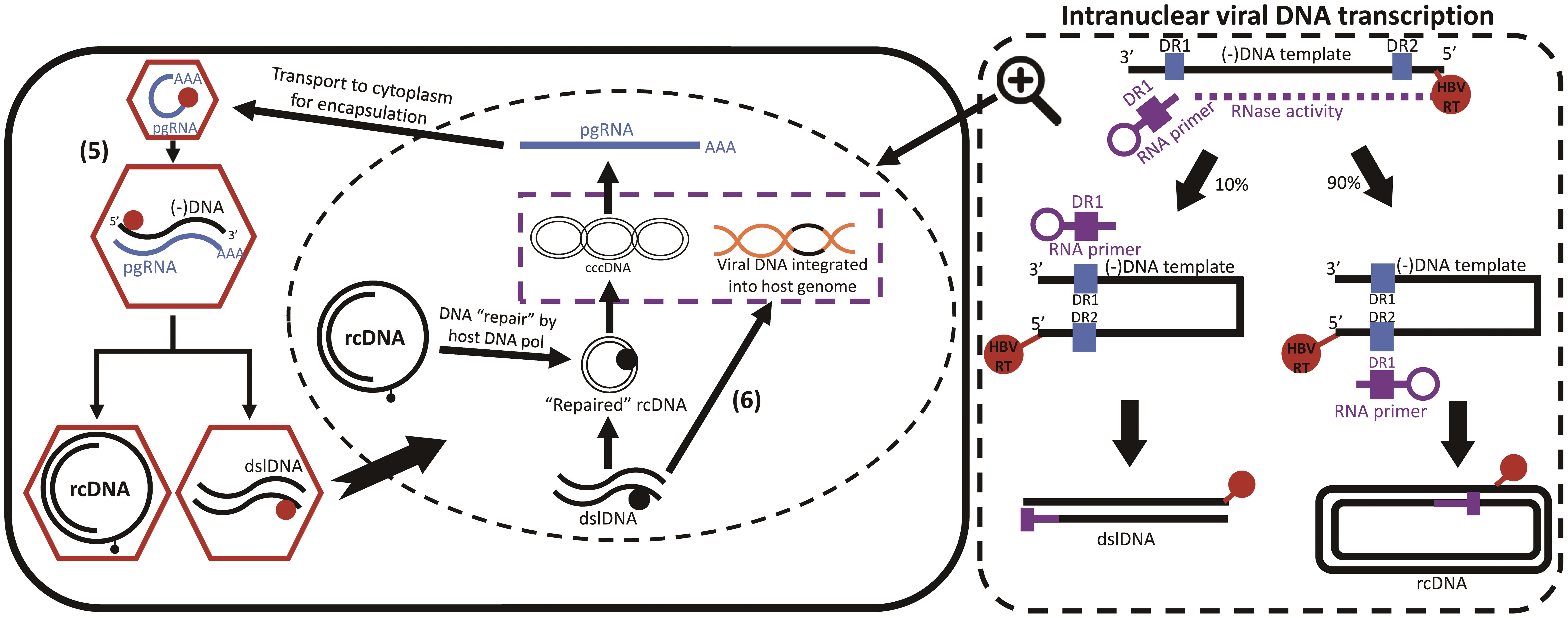 Hepatitis B DNA integration.
