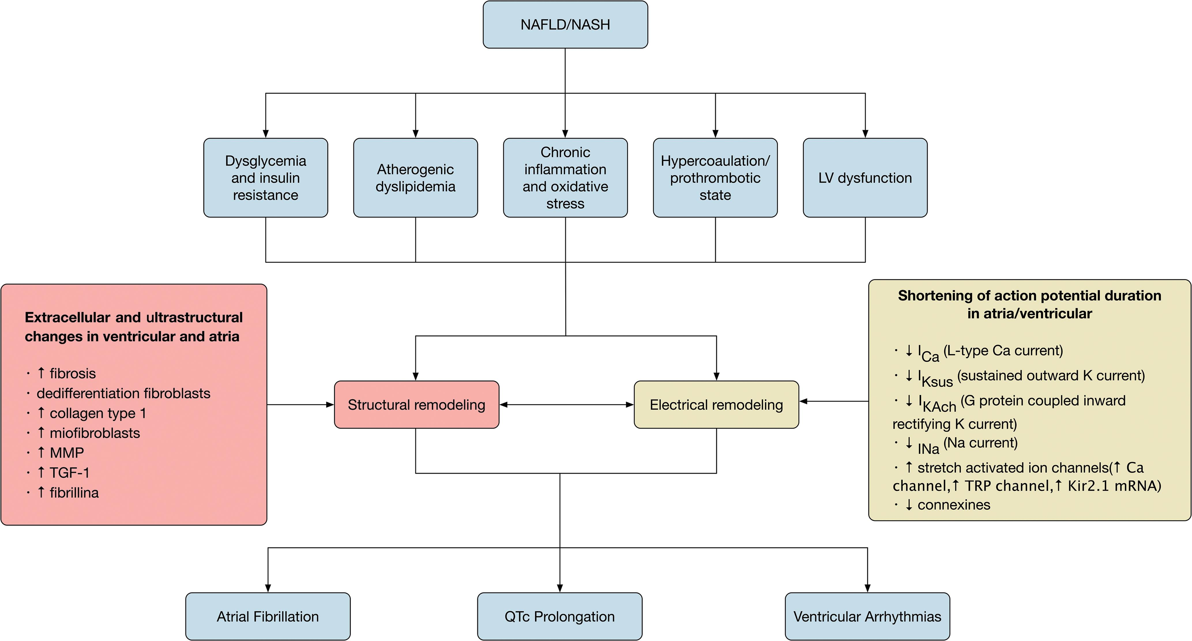 Putative biological mechanisms linking NAFLD and risk of cardiac arrhythmias (<italic>i.e.</italic> atrial fibrillation, QTc interval prolongation and ventricular arrhythmias).