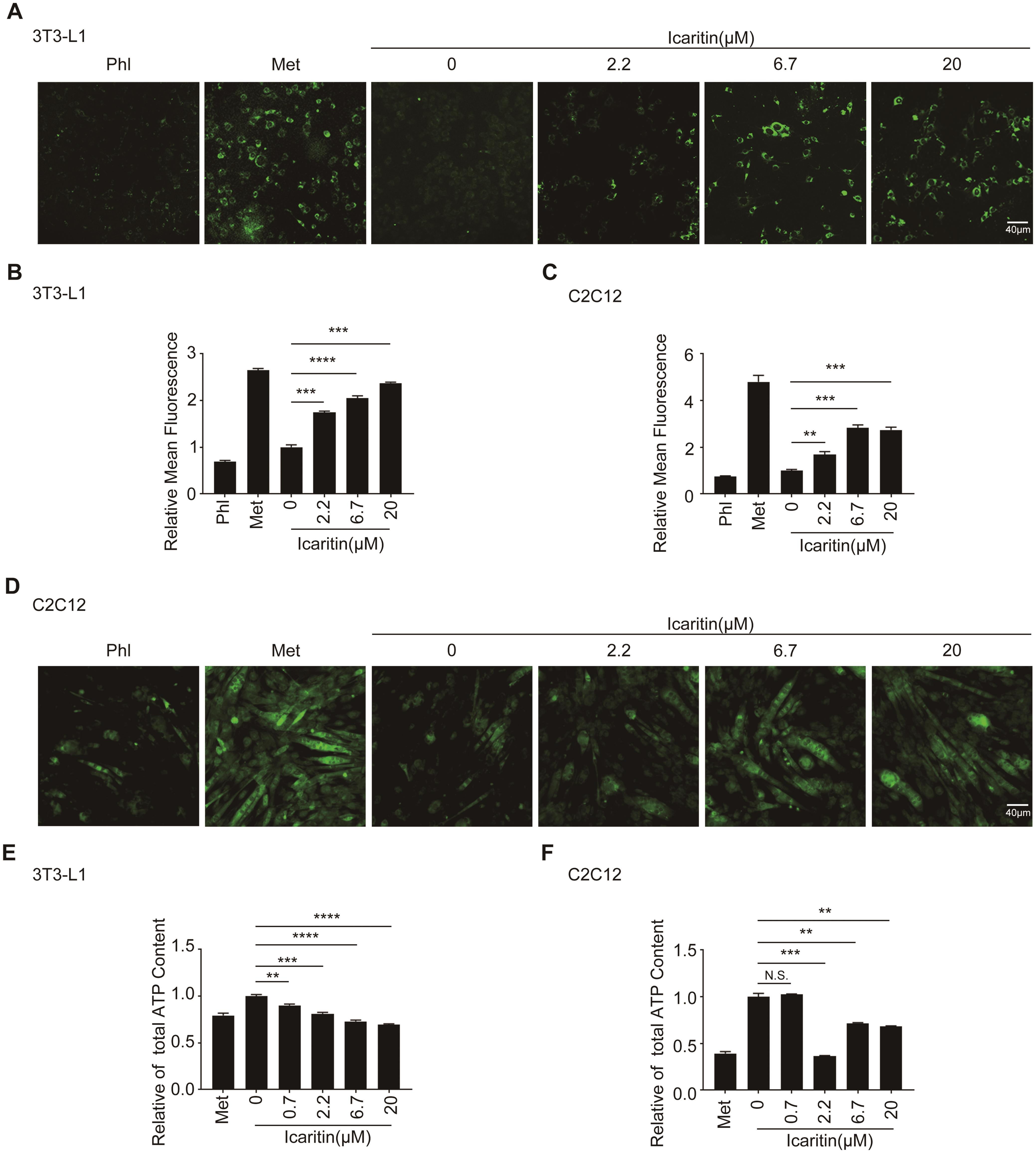 Icaritin increased the glucose uptake and decreased the ATP content in 3T3-L1 adipocytes and C2C12 myotubes.