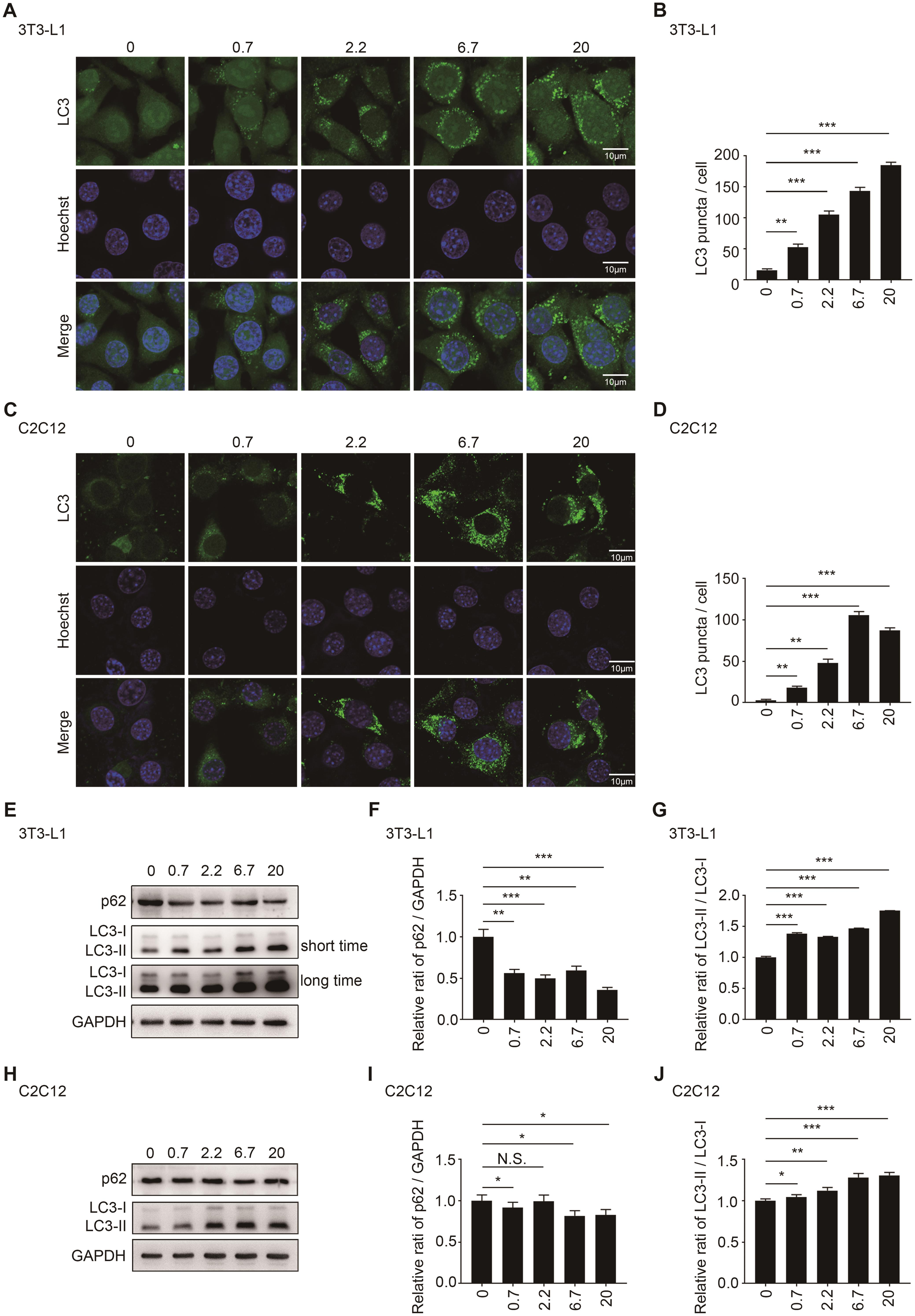 Icaritin promoted autophagy in 3T3-L1 preadipocytes and C2C12 myoblasts.