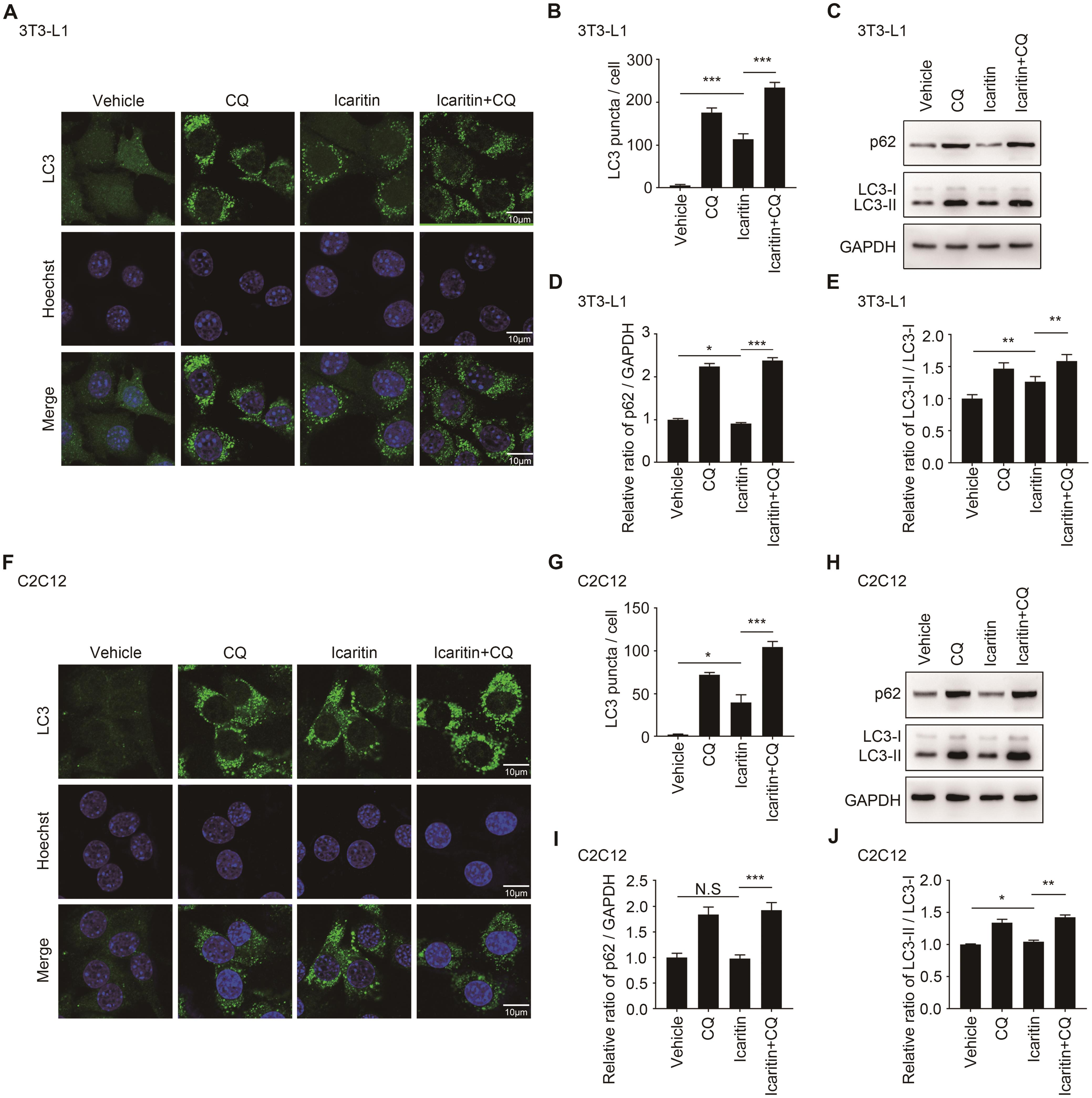 Icaritin promoted initiation of autophagy in autophagic flux of 3T3-L1 preadipocytes and C2C12 myoblasts.