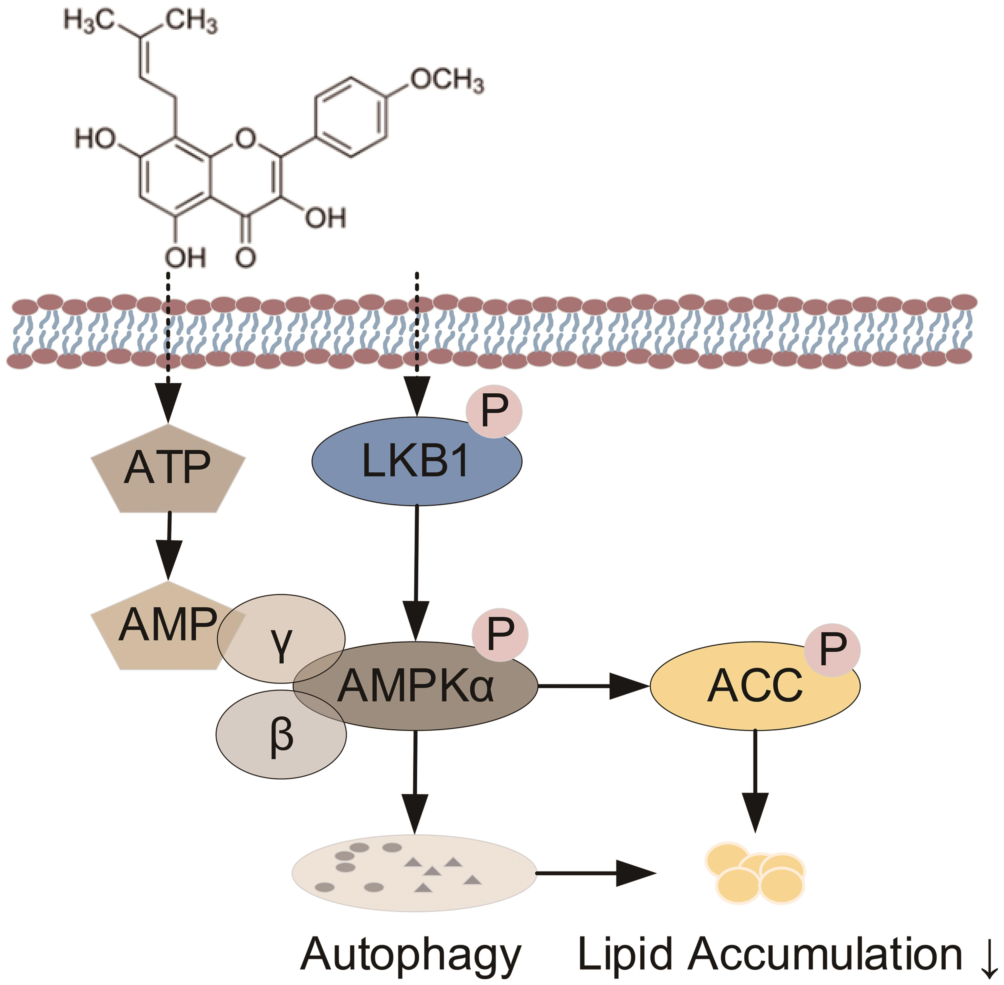 Proposed mechanisms of icaritin on lipid accumulation.