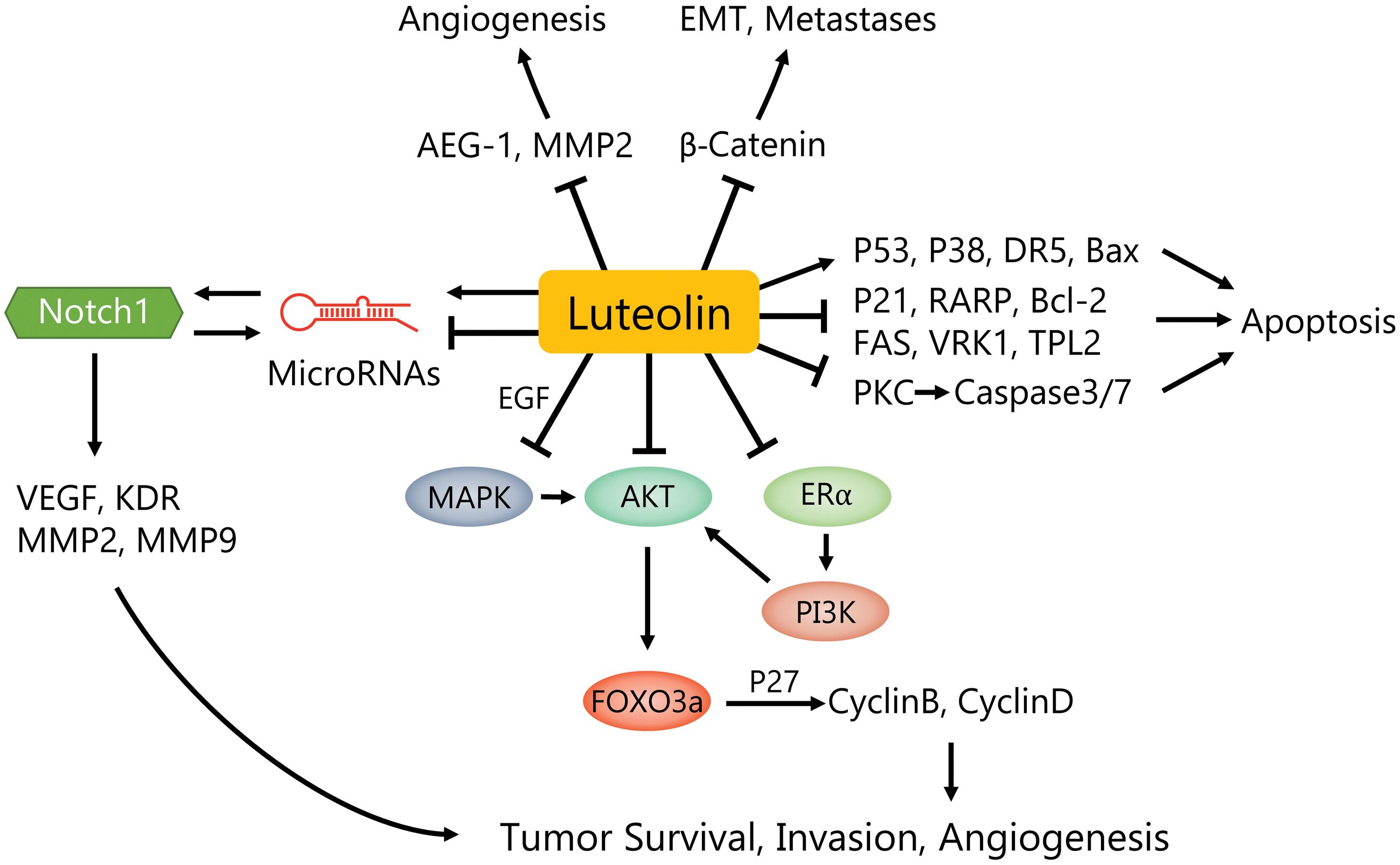Luteolin modulates the signaling pathways and inhibits the growth and migration as well as promotes apoptosis of breast cancer cells.