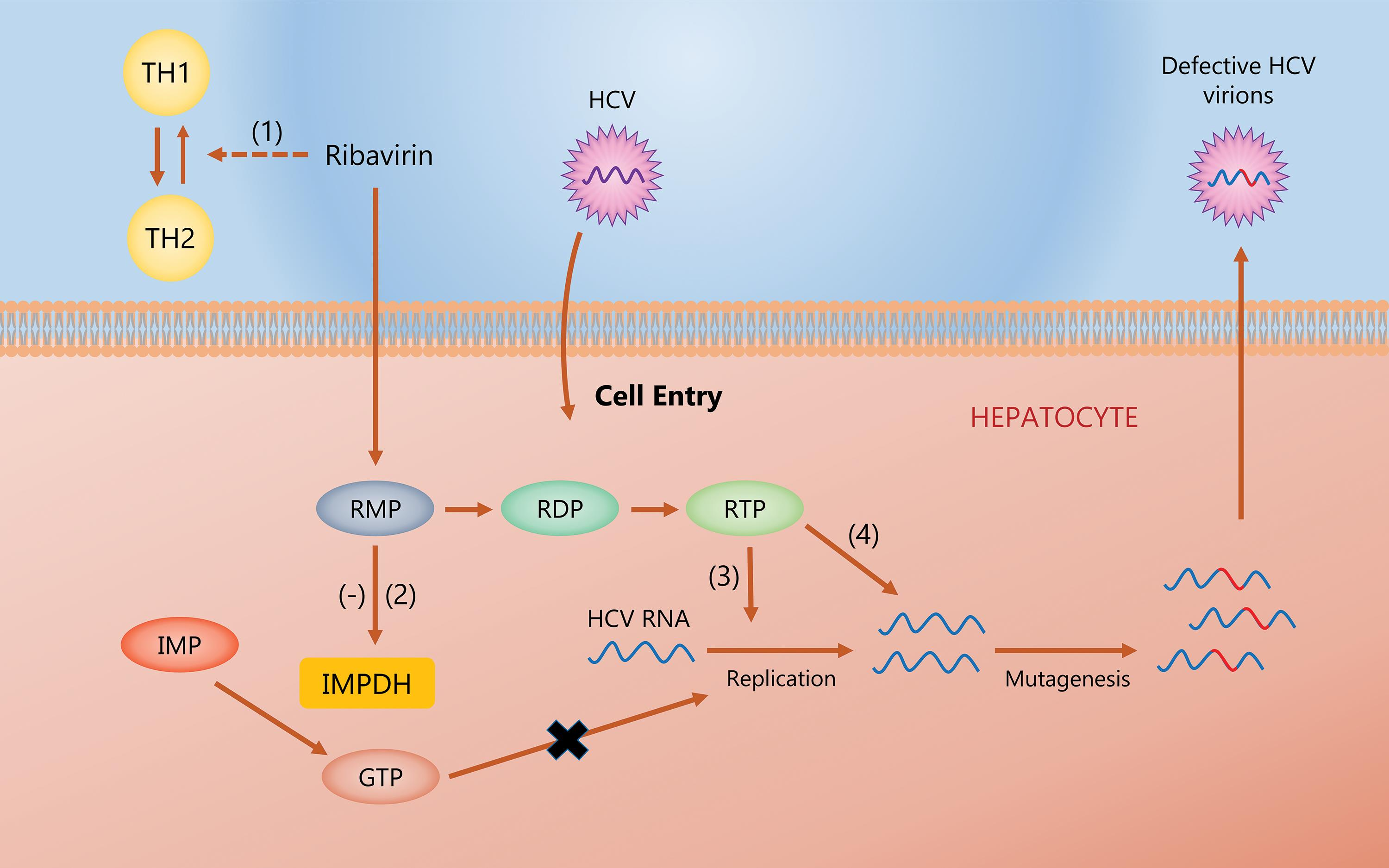 Proposed mechanisms of RBV.