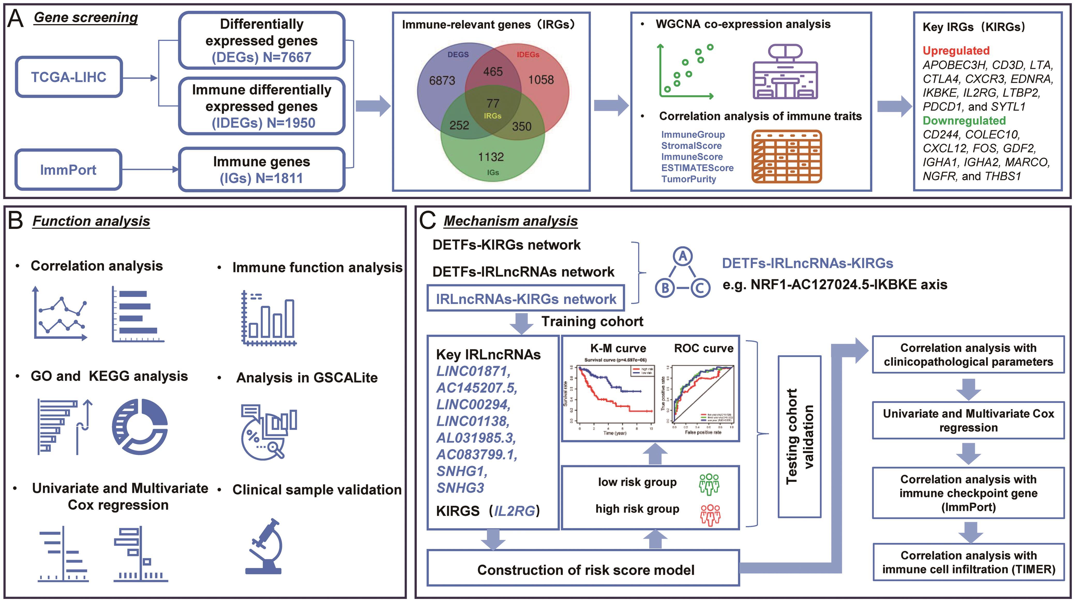 Flow chart of immune-relevant gene screening, function analysis, and mechanism analysis.