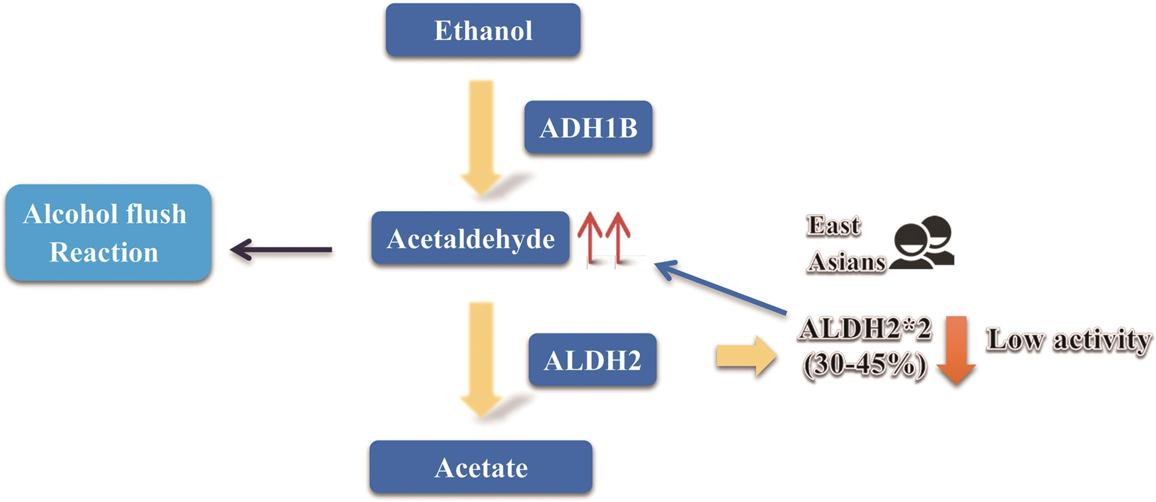 Alcohol metabolism and enzymes that strongly impact alcohol consumption.