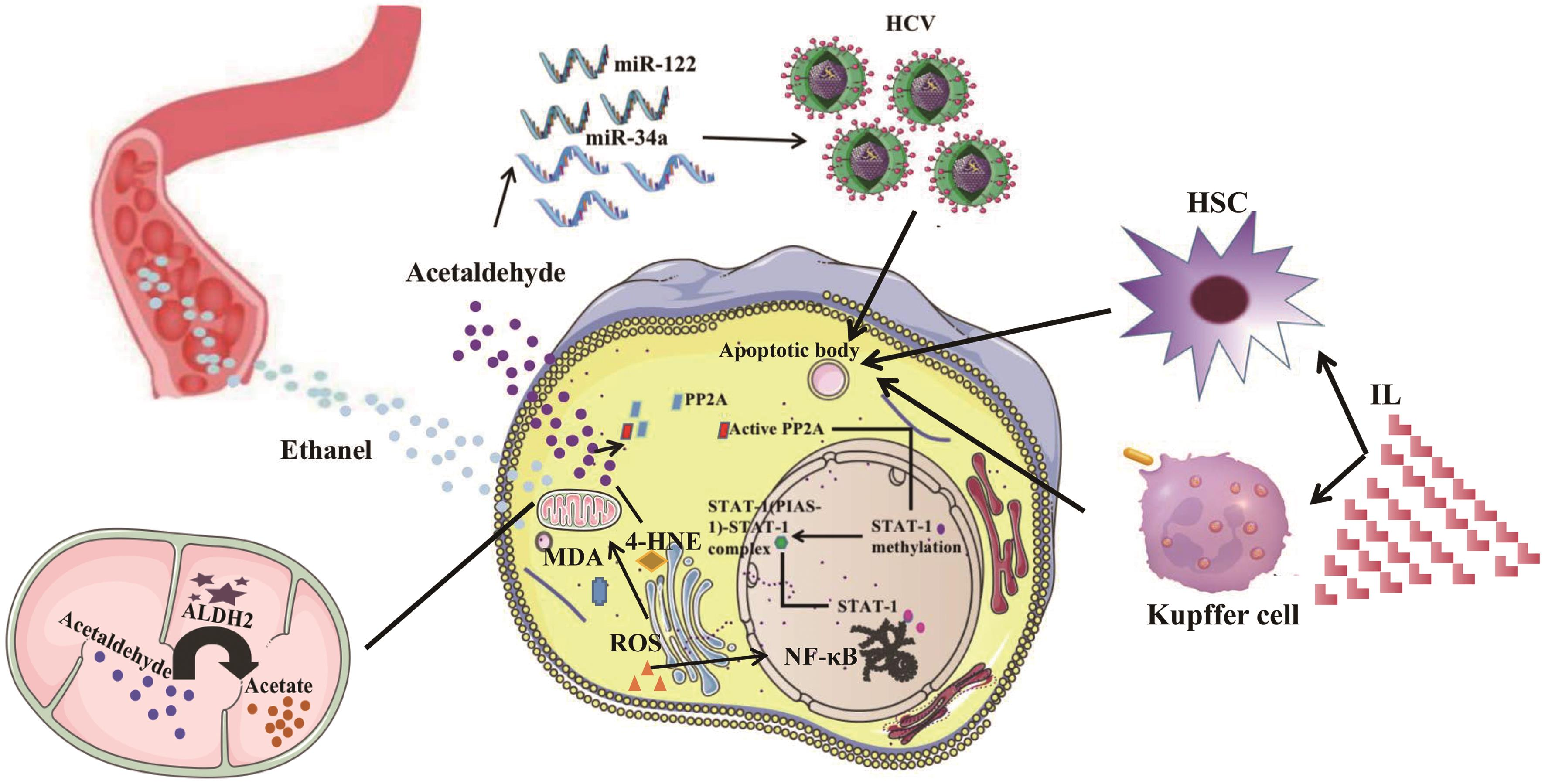 Effect of ALDH2 in HCV infection and toxic aldehydes.