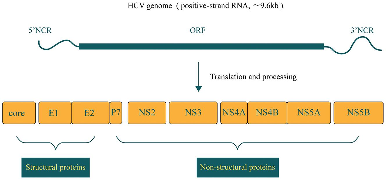 The Role of MicroRNA in Hepatitis C Virus Replication