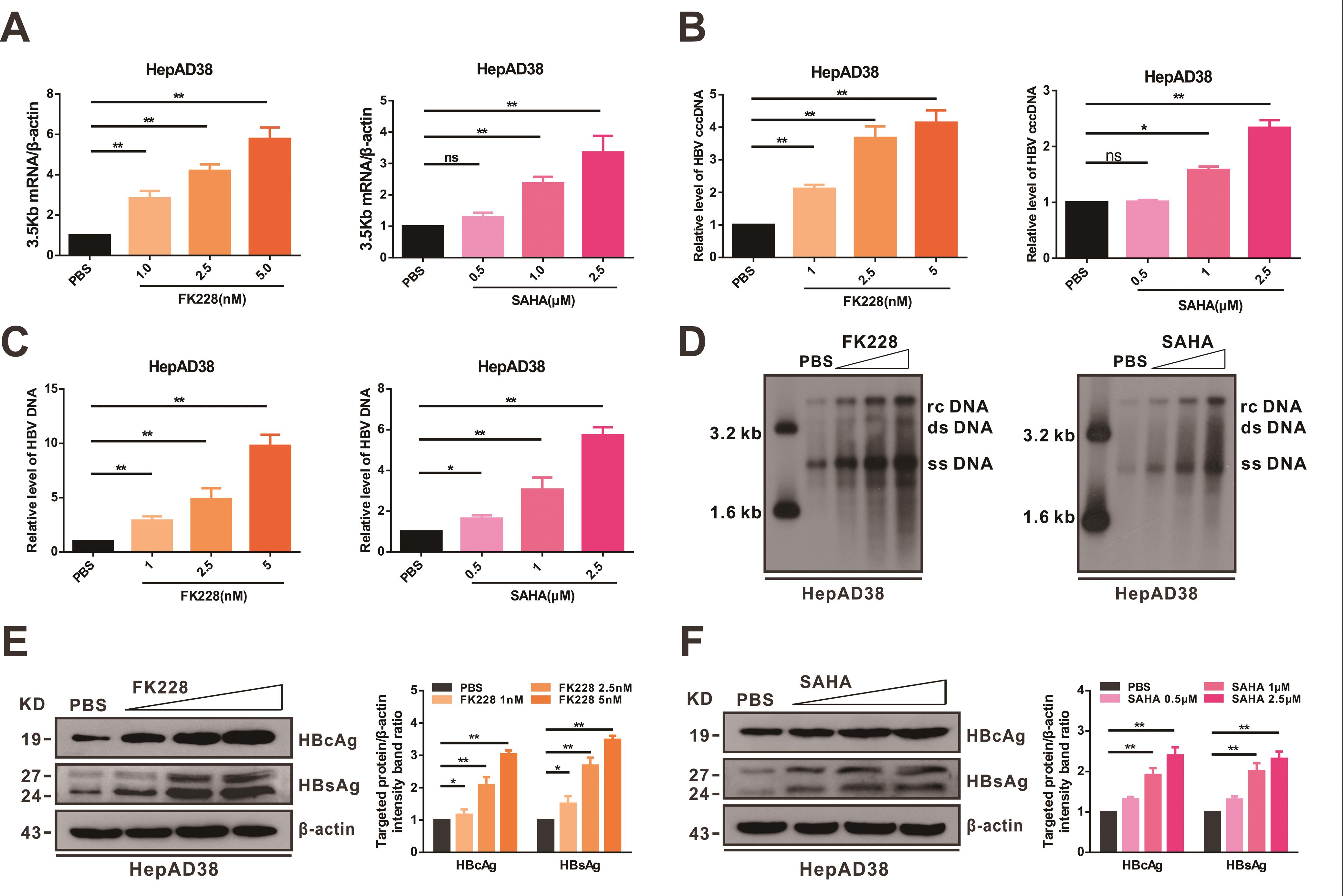 HDACi enhance HBV DNA replication, viral protein production, and virion secretion.