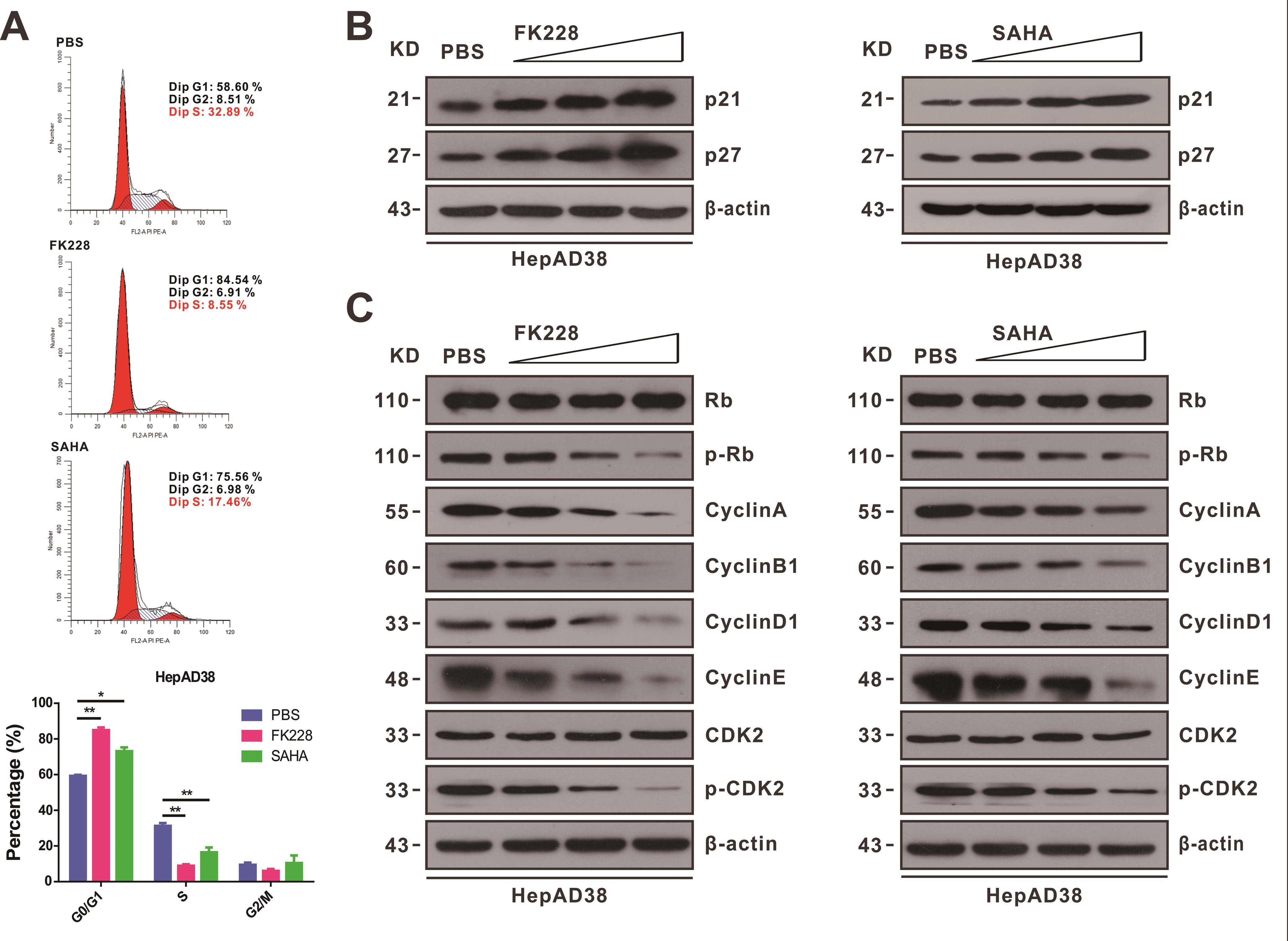 Effect of HDACi on the cell cycle in HBV-expressing hepatoma cells.