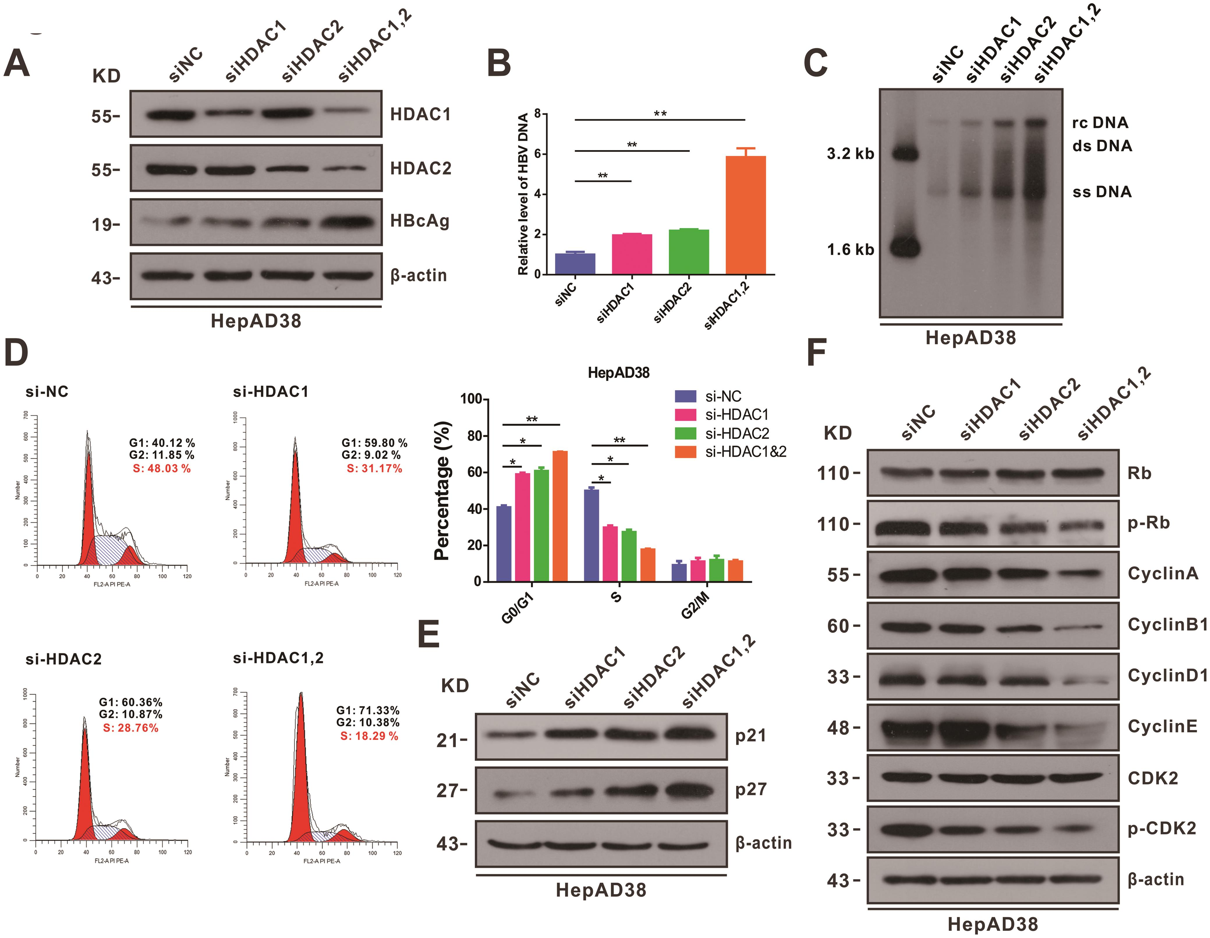 Transcriptional HDAC1/2 inhibition leads to cell cycle blockage in HBV-expressing hepatoma cells.