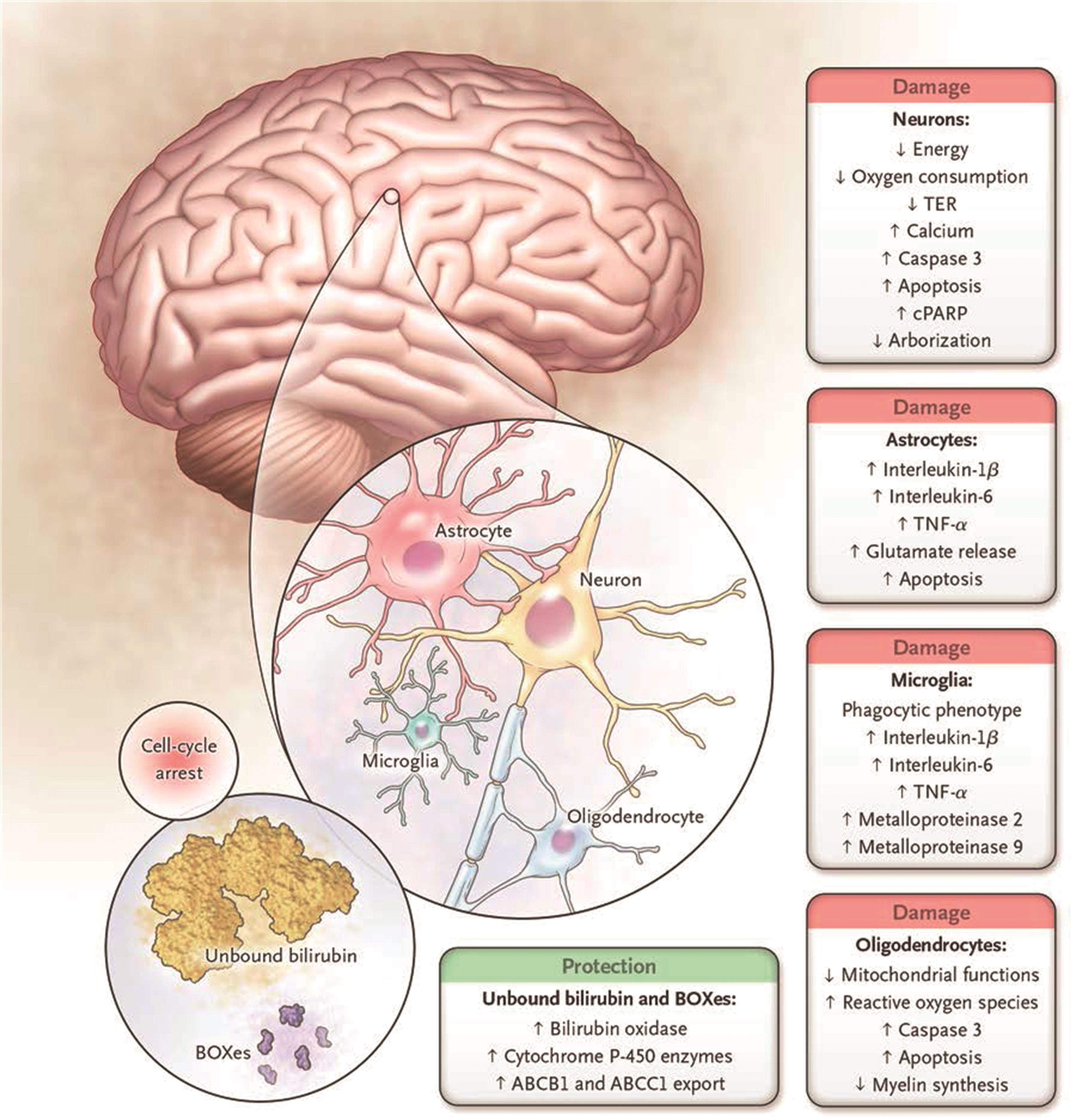 Cell types and metabolic processes affected by bilirubin in the central nervous system.