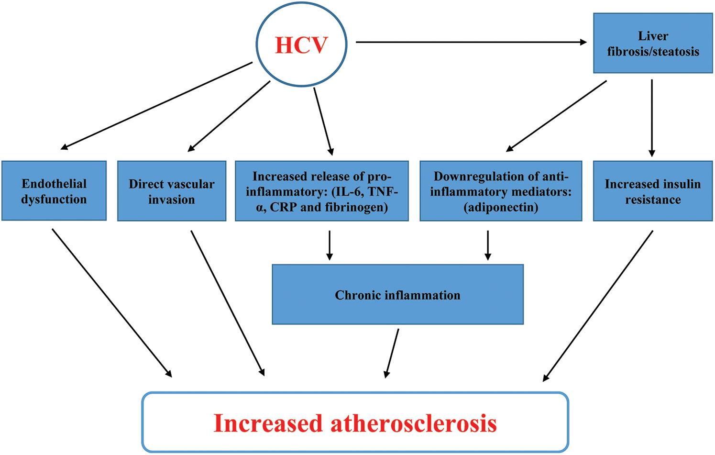 Mechanism of HCV-induced CVD.