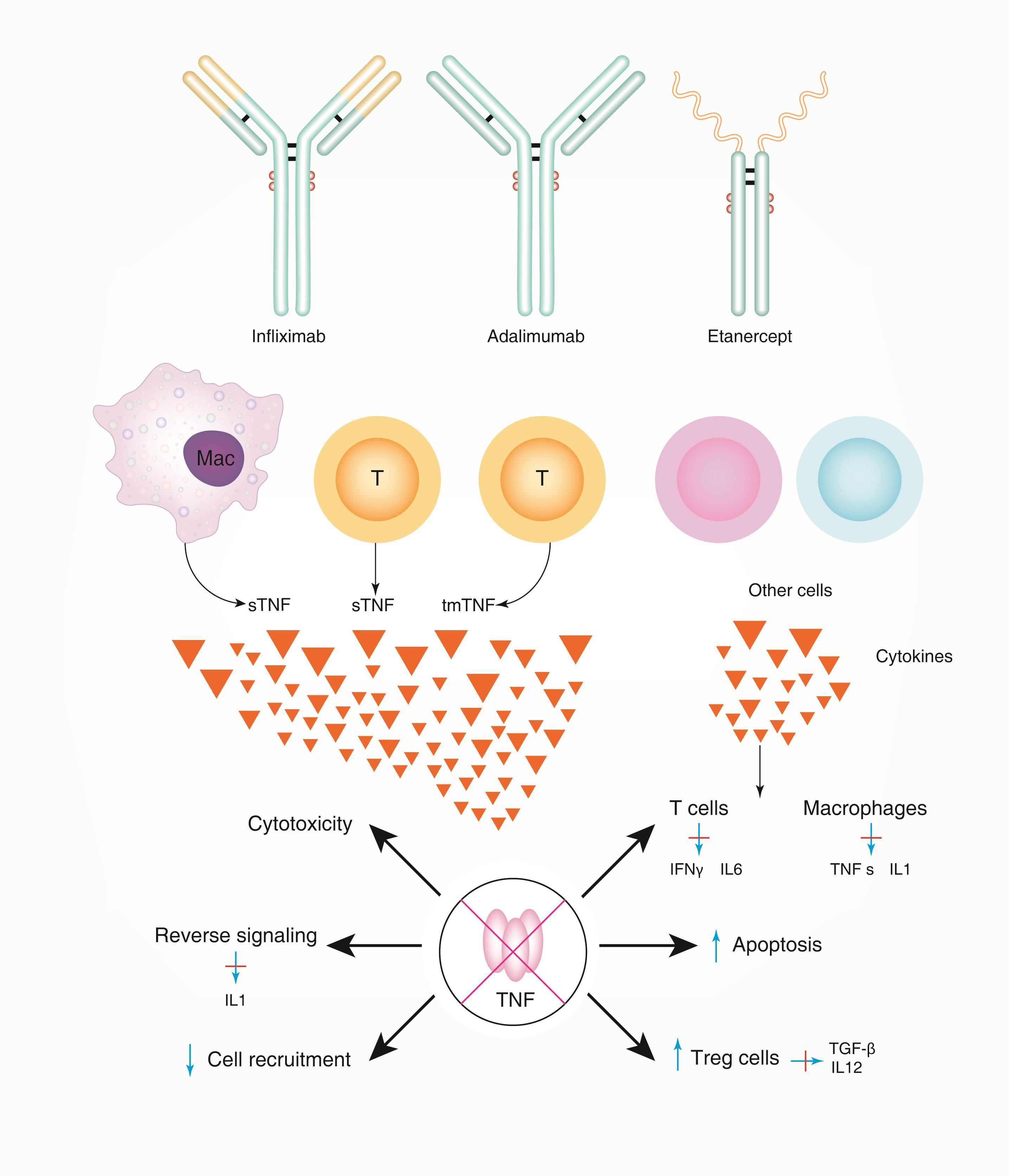 Mechanism of action of TNF-α inhibitors.