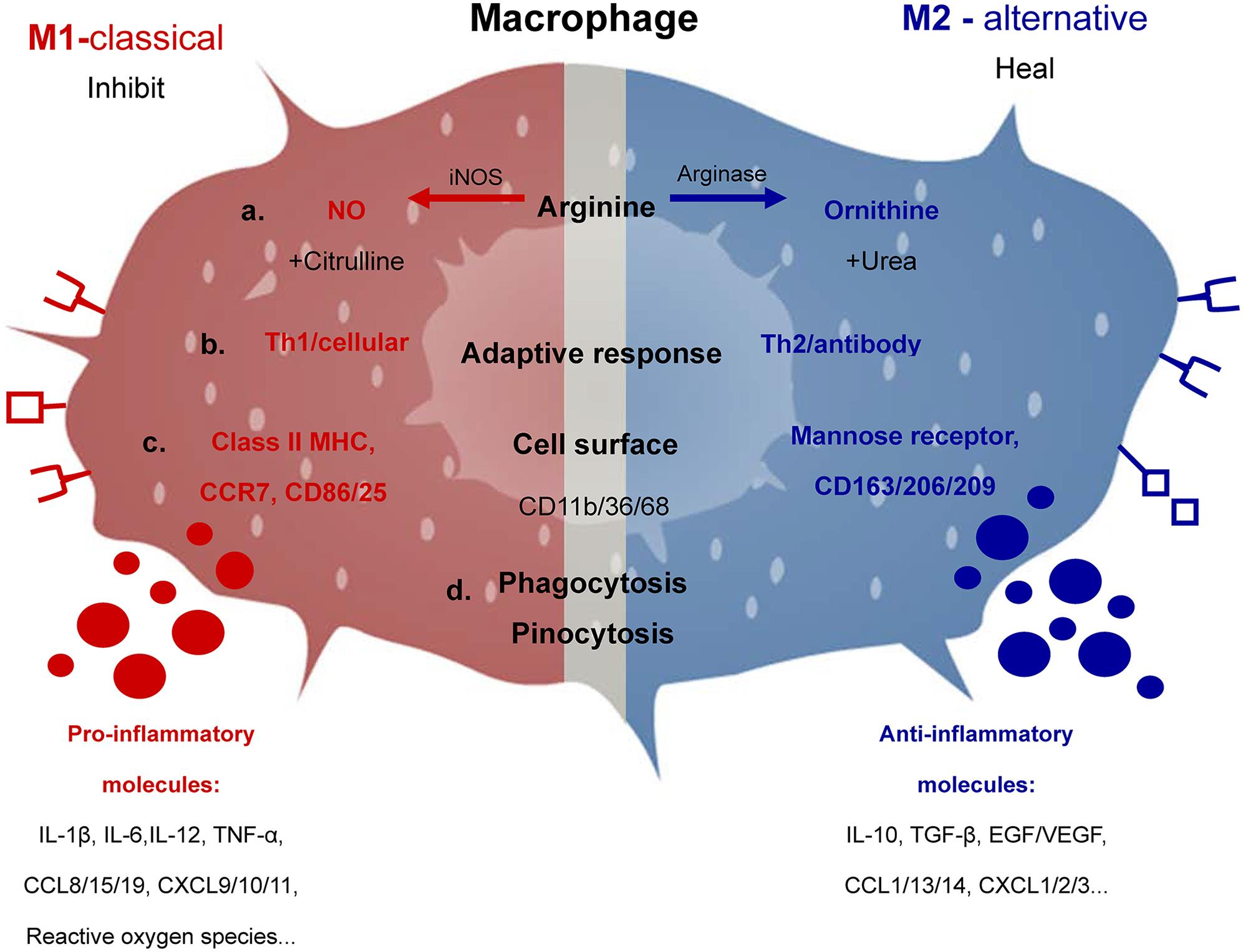 Characteristic products and functions of M1 and M2 macrophages. Macrophages can metabolize arginine with the inducible nitric oxide synthase enzyme into nitric oxide and citrulline or with arginase into ornithine and urea which is the biochemical basis of the M1 or M2 macrophage responses, respectively