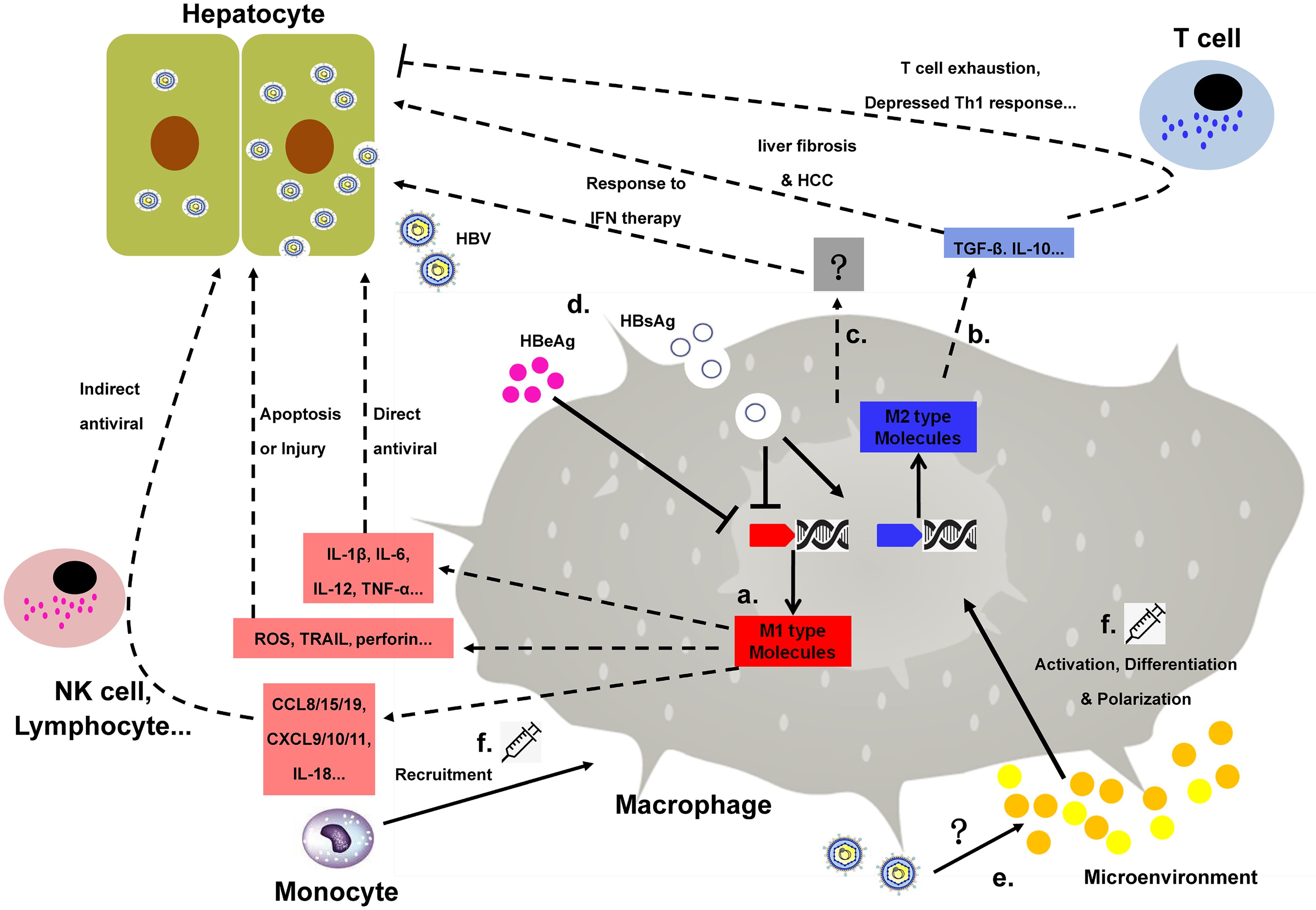 Macrophage involvement in HBV infection. The anti-HBV effect of macrophages is mediated mainly by pro-inflammatory cytokines inducing a direct antiviral response or molecules recruiting or activating other immune cells. Meanwhile, another group of M1 KCs produces molecules that may result in injury or apoptosis of the hepatocytes