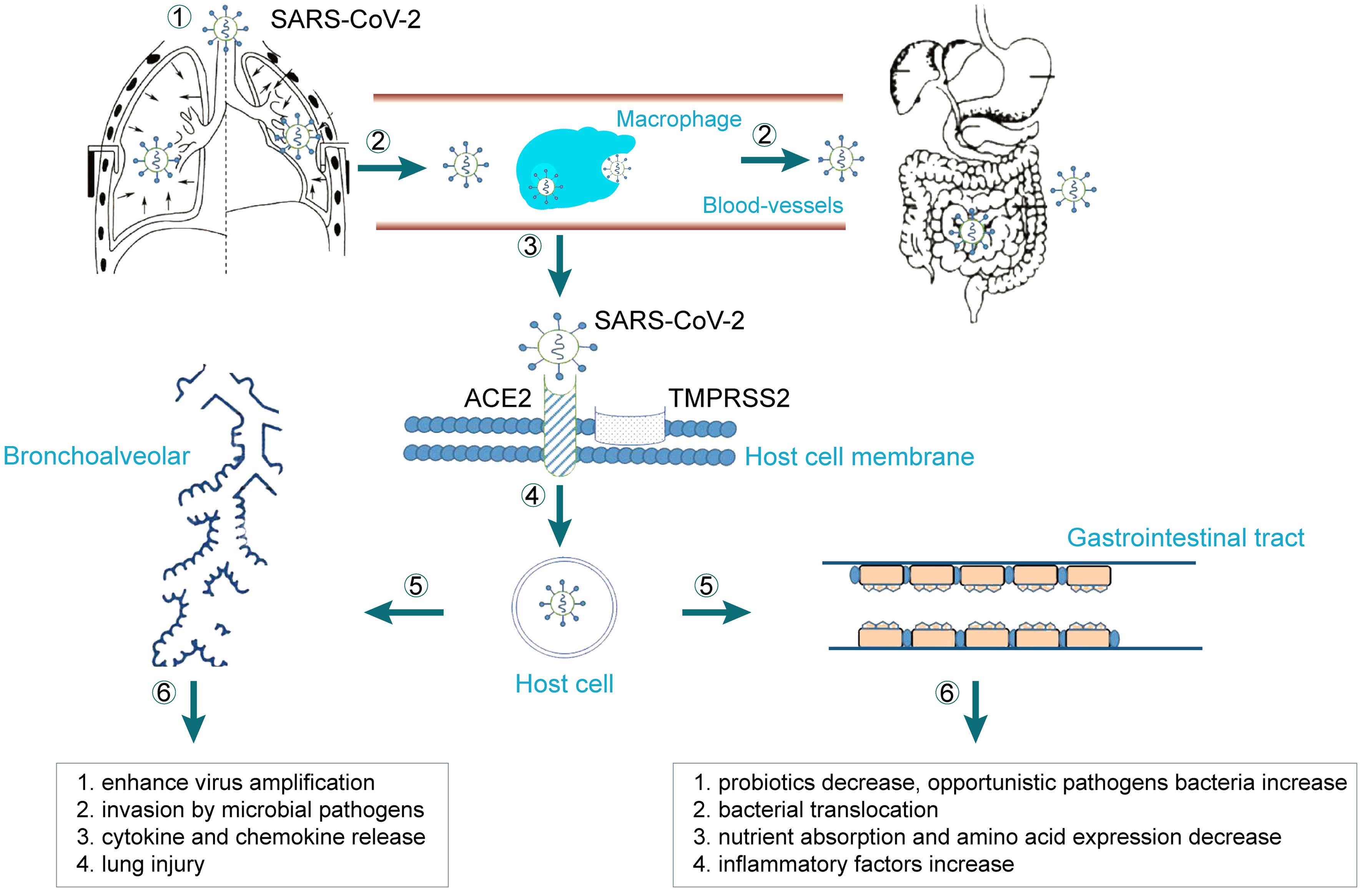 A model for the process by which SARS-CoV-2 enters host cells in the lung and gastrointestinal tract.