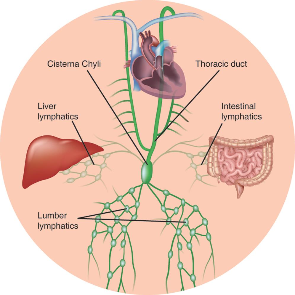 Chylous Ascites A Review Of Pathogenesis Diagnosis And Treatment Follow The Colors On Schematic Description Text Representation Depicting Lymphatic Drainage With Major Channels In Thoraco