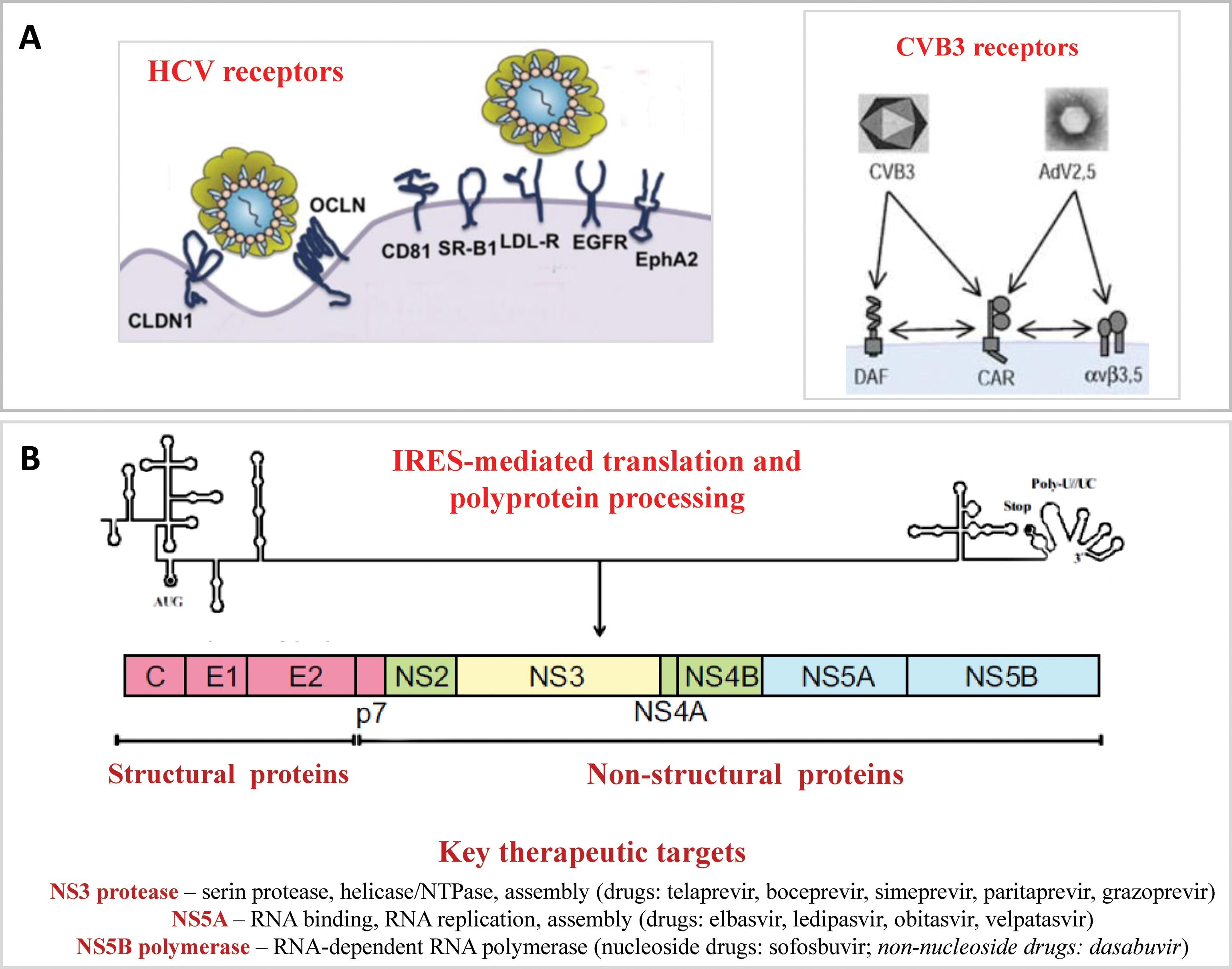 Similarities between the life cycles of HCV and the prototypical cardiotropic virus CVB3.