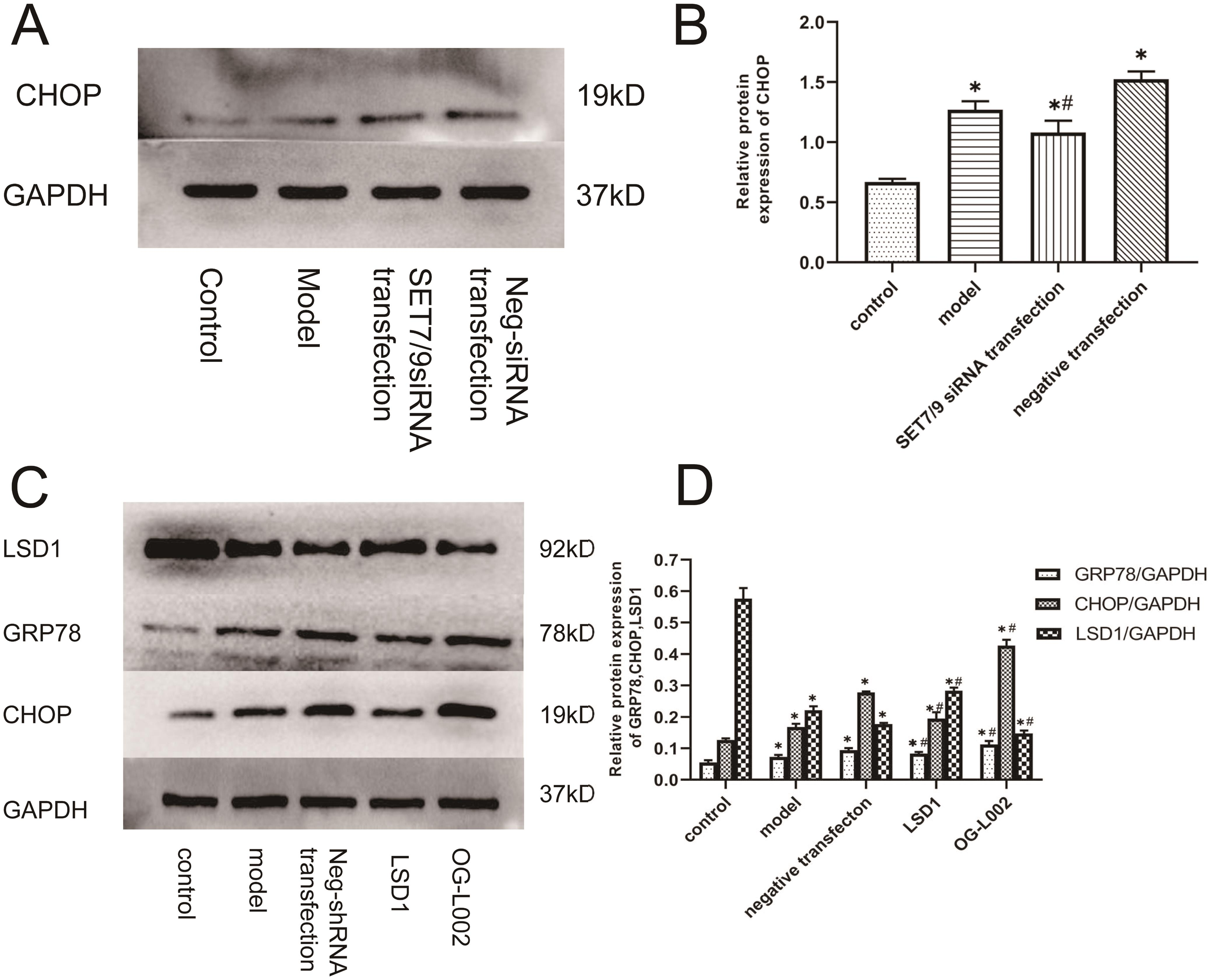 Effect of arsenic on ERS-related proteins in L02 hepatocytes.