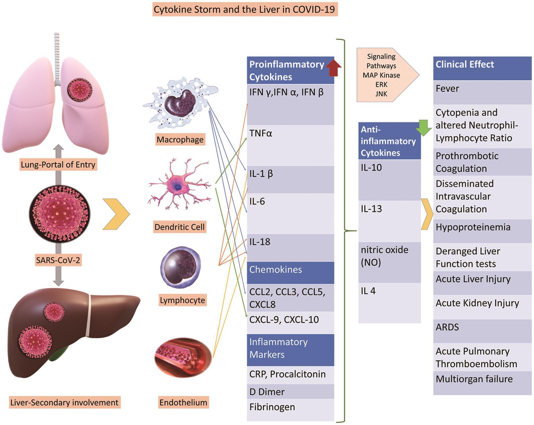 COVID-19, cytokine storm and immune-mediated organ failure.
