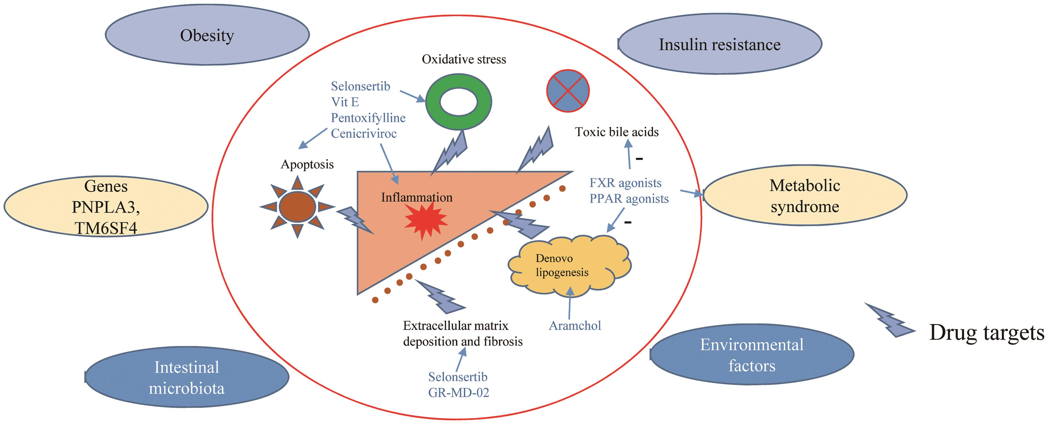 Factors implicated in the pathogenesis of NASH and possible drug targets.