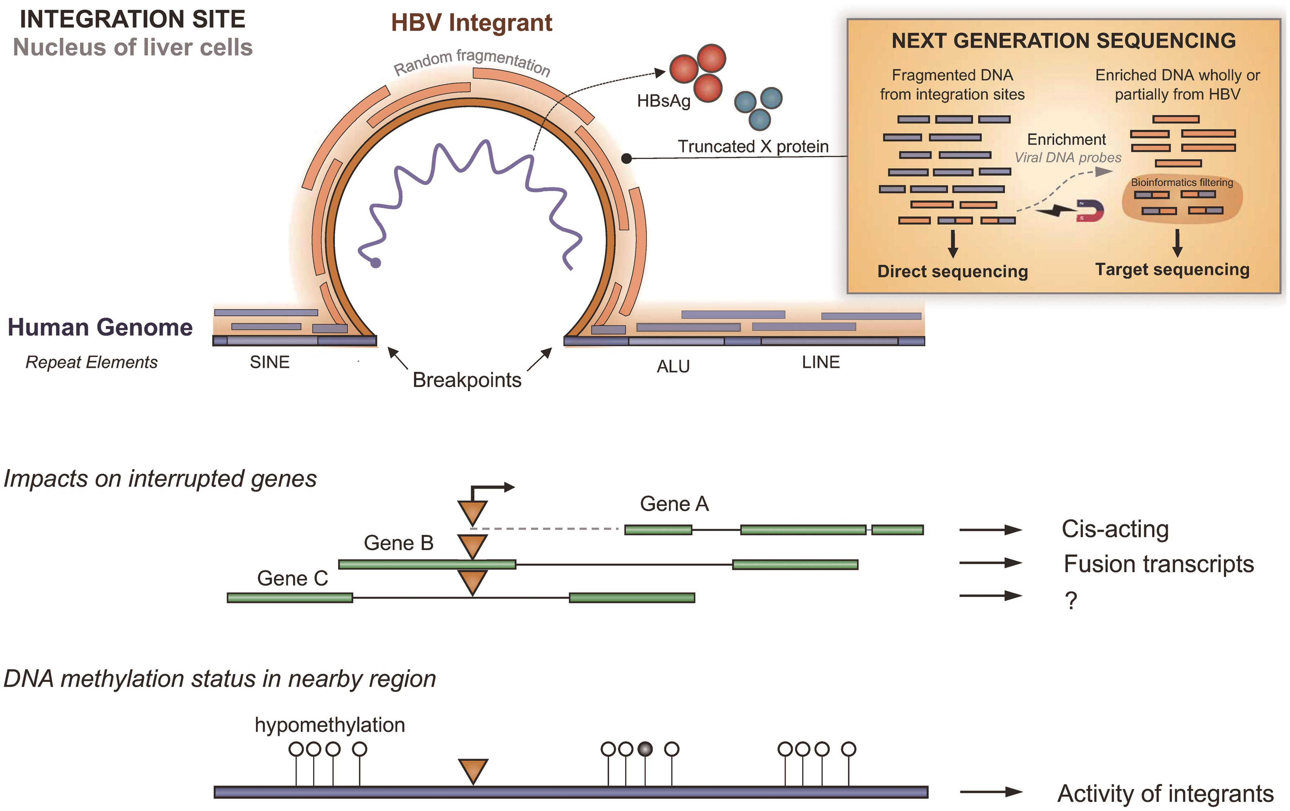 HBV integrations in the host nuclear genome.