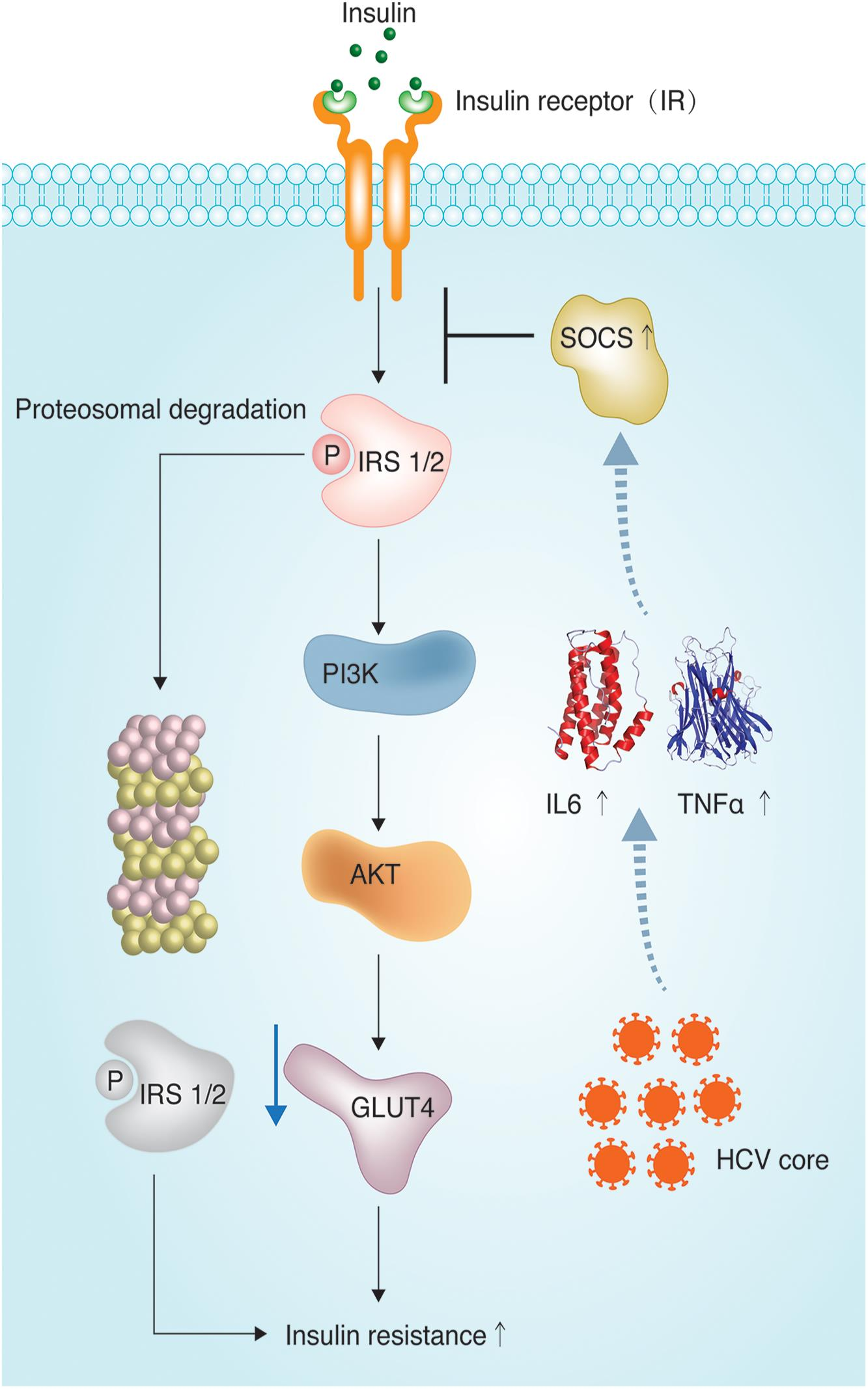 Hepatitis C virus affects the insulin signaling cascade.